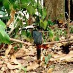 Aracari bird