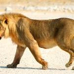 Etosha - lion