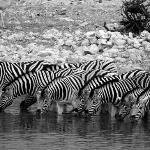 Etosha - zebra