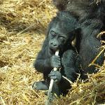 Teething Gorilla?