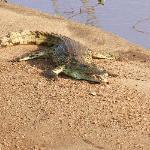 questo coccodrillo vicino al campo da golf!!!