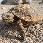 Juvenile Desert Tortoise