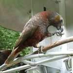 Kaka Bird at Mount Bruce National Wildlife Centre Pukaha NZ