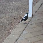 Magpie waiting for his breakfast