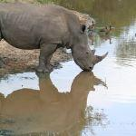 Rhino and reflection