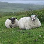 Sheep on the Hillsides of Valentia Island, Irelan