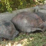 Seychelles - Tartarughe giganti