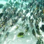 School of snappers in the lagoon