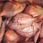 Tsukiji Fish 1
