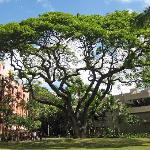 Royal Hawaiian Courtyard Tree