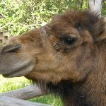One of the Camels