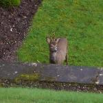 roe deer in the front garden