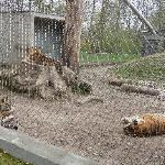Tigers enclosure
