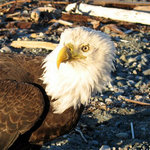 Eagles are one of the frequent visitors to the resort!
