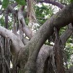 100 year old rubber tree