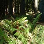 Lundi, promenade dans le Redwood parc. Magnifique. Et l'odeur du bois chauffe par le soleil...