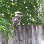 The Kookaburra!