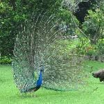 resident peacock trying to attract a mate