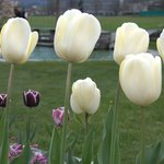 Tulips everywhere in Interlaken, April 2010