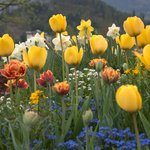 Tulips blooming almost everywhere in Interlaken.