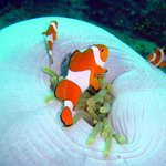 Lots of clownfish on the wrecks!