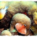 More coral at Cobalt Ridge