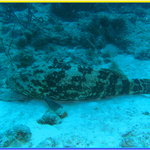 Large grouper we spotted at Lighthouse Point dive