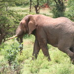 The great African elefant