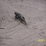 Western Sand Monitor - Leeuwin NP