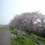一段低いところに咲くソメイヨシノ