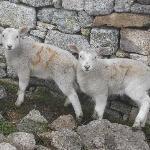 Twin Lundy Lambs