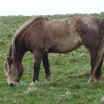 Lundy Pony