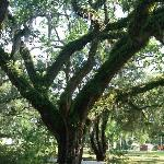 Town of Micanopy is Big Tree heaven