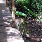 wildlife scampers across walkways:Rimba Lodge
