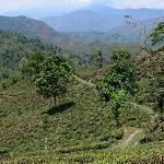 The tea estate