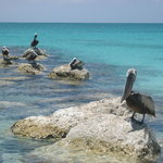 Pelicans nearby