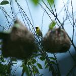 The garden is ample with nest building weaver birds. Southern Black masked Weaver here. An ornit