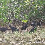 Vultures in the everglades