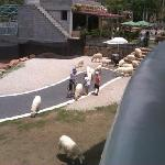 sheeps (view from fly restrant)
