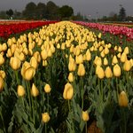 The Tulip Garden in Srinagar, Kashmir. Flowers bloom in spring for only 3-4 weeks.