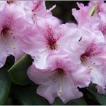 Stunning rhododendron