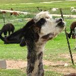 Alpaca at Victory Ranch