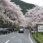 海津大崎の桜のトンネル入り口