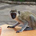 Monkey on table