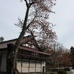 大きな桜木
