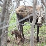 1 hr olf moose calves. Mother was eating the placenta (yes they do this)