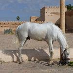 Caballo blanco en Meknès