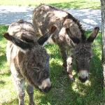The Donkeys are here!