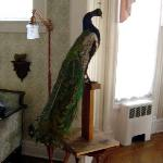 The peacock in the parlor