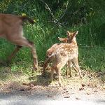Mama deer and her babies spotted near Birds of a Feather